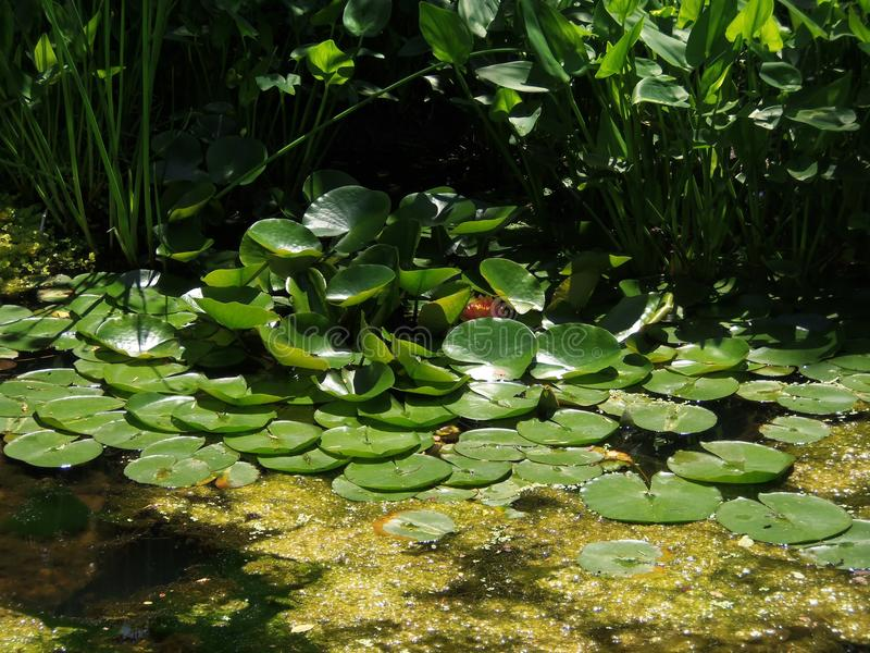 Lilly Pads op Water royalty-vrije stock foto