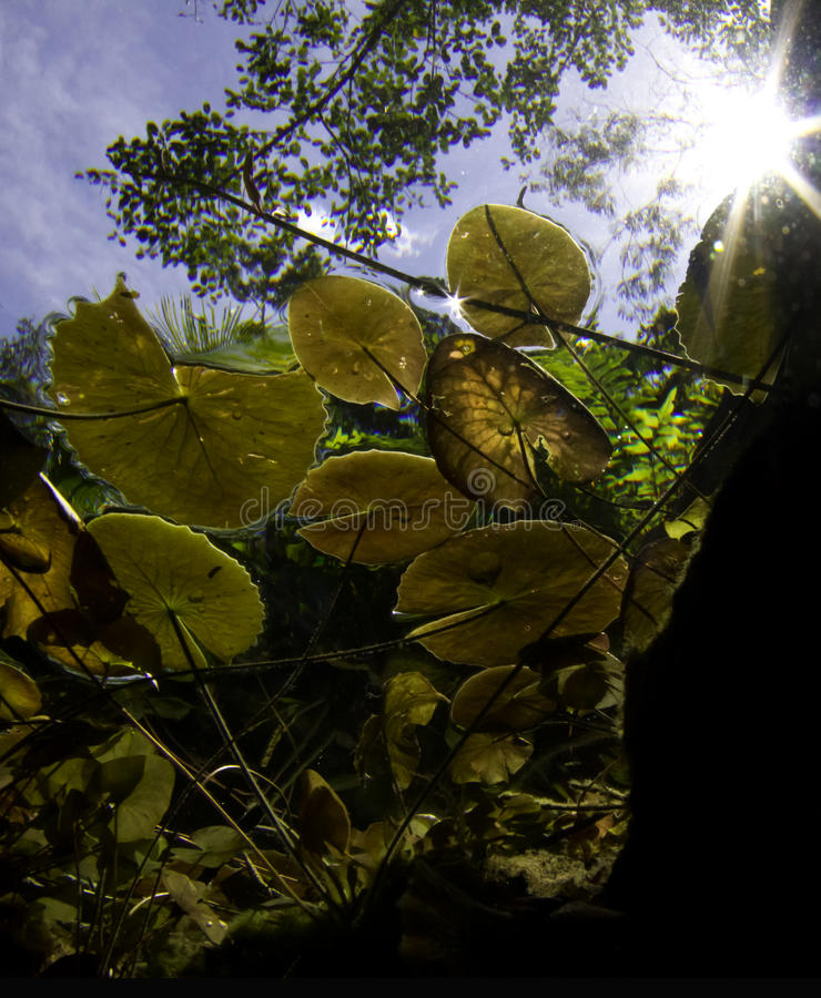 Lilly pads with sun in cenote stock photo