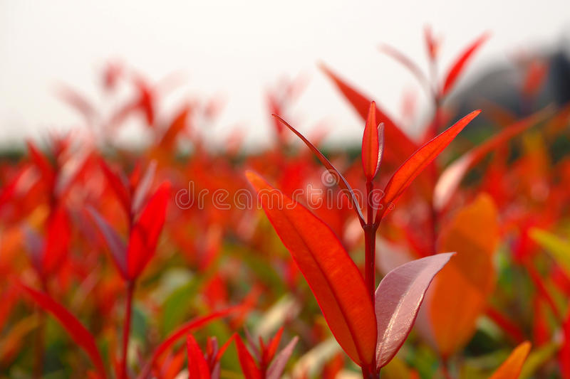Lilly Pilly stock image