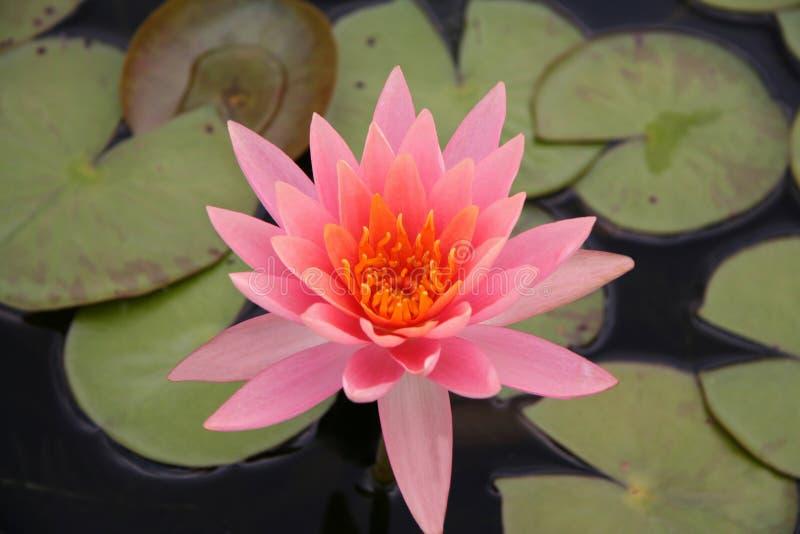 lilly różowa woda zdjęcia royalty free