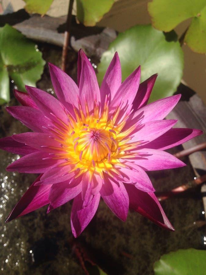 lilly rosa vatten royaltyfria foton