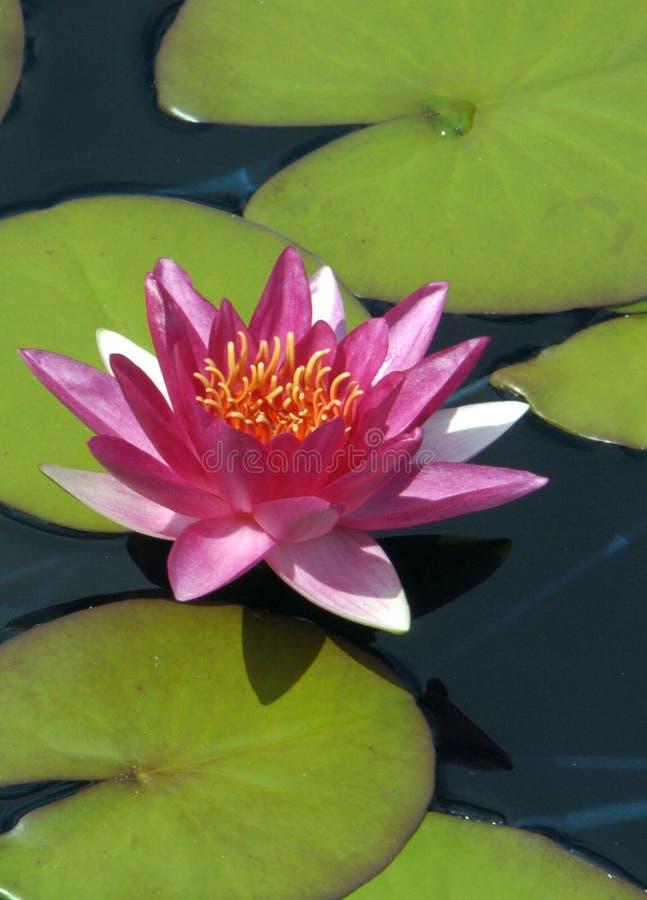 Download Lilly vatten fotografering för bildbyråer. Bild av lilja - 517893
