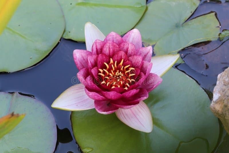 lilly water στοκ εικόνα