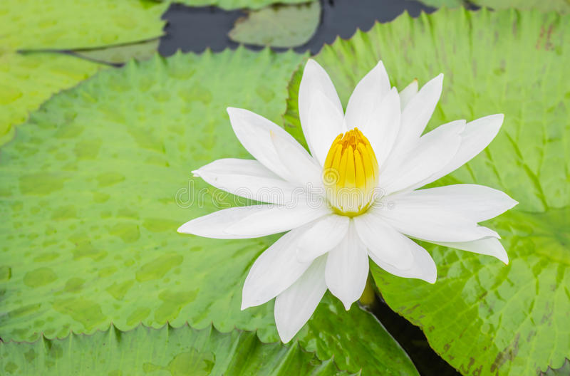 lilly water arkivfoto