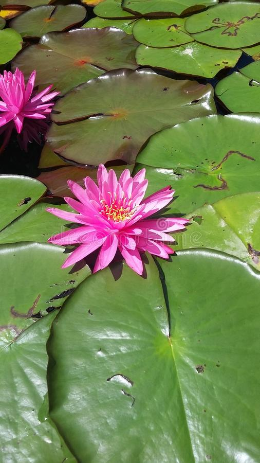 lilly water arkivfoton