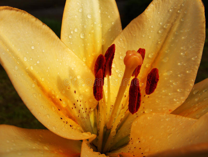 lilly waterdrop royaltyfri bild