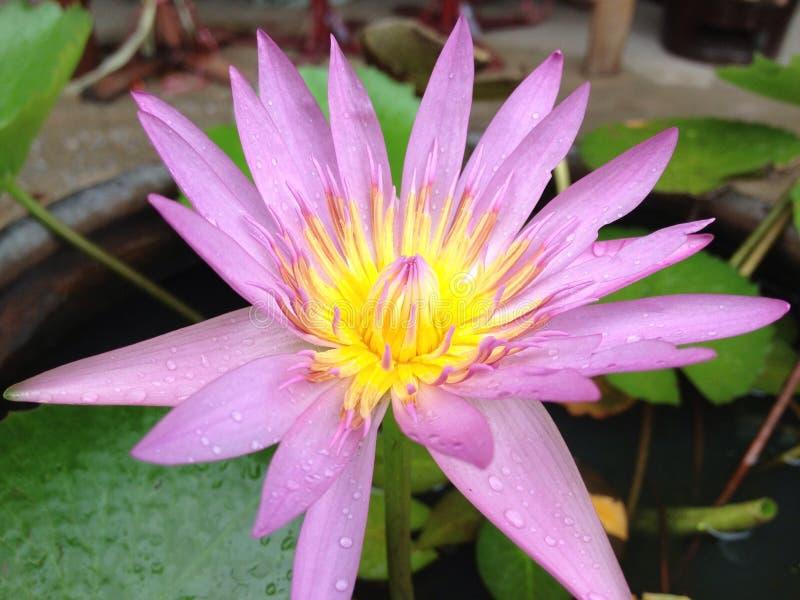 lilly wodny kwiat, lotos obrazy stock