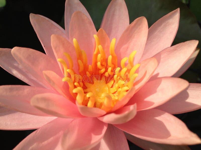 lilly wodny kwiat, lotos zdjęcie royalty free