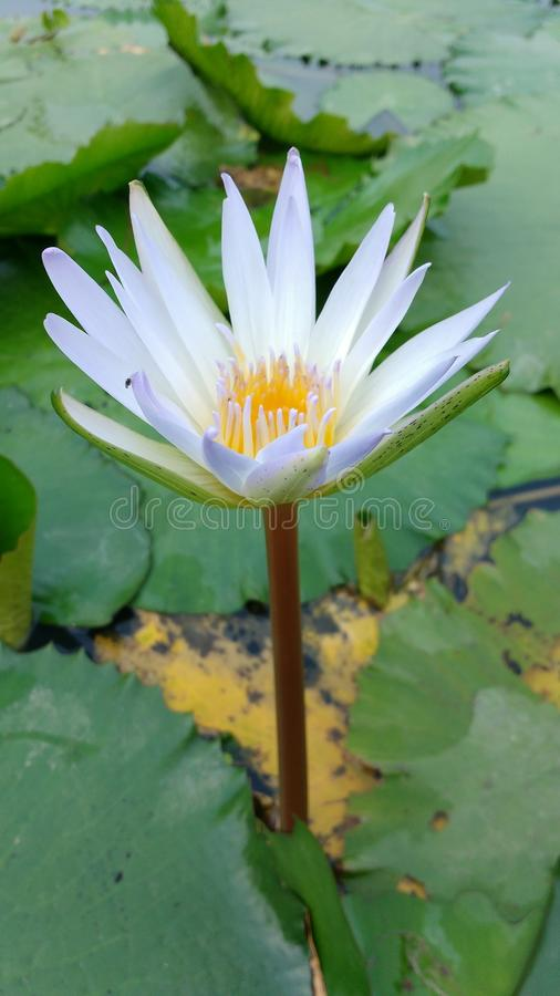 lilly wody obraz royalty free