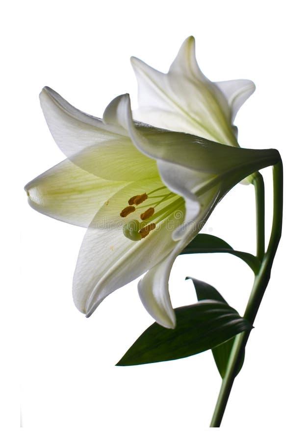 lilly zbliżenie kwiat obraz stock