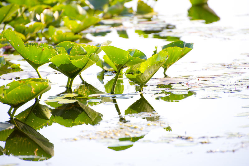 Lillypads στο νερό στοκ εικόνα