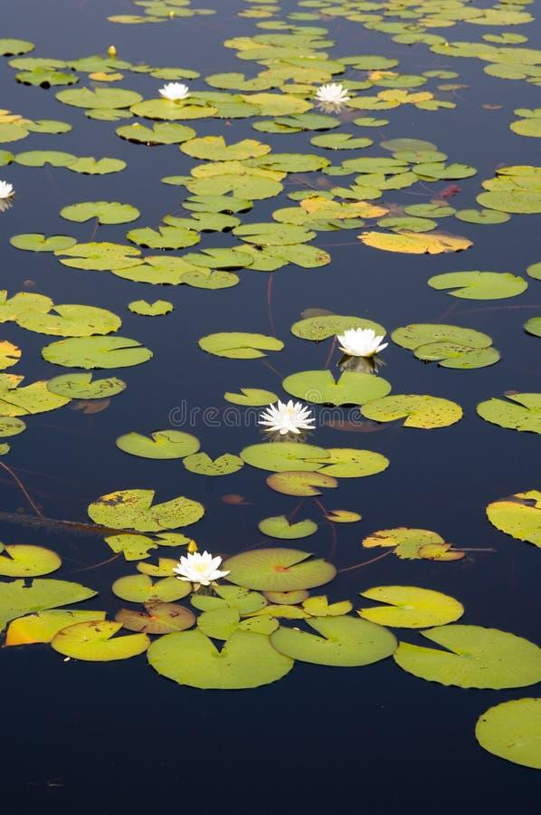 Lillypads dans un marais de la Floride image libre de droits