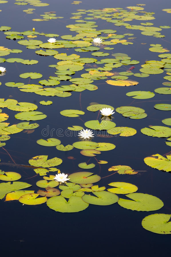 Lillypads in a Florida swamp royalty free stock photo