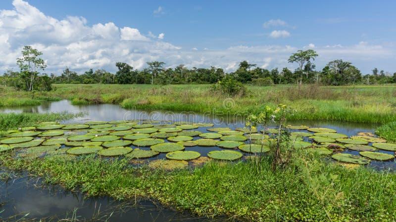 Lillys i amasonrainforest fotografering för bildbyråer