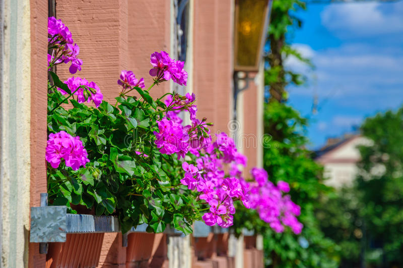 Lilor blommar pelargonian, pelargon på balkongen fotografering för bildbyråer