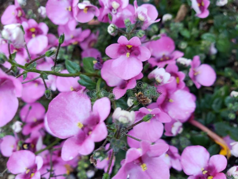 Lilor eller rosa färger fotografering för bildbyråer