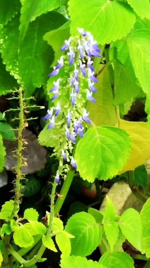 Lilor i natur royaltyfria bilder