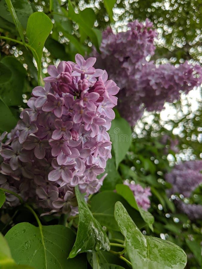 Lilor i regnet royaltyfria foton