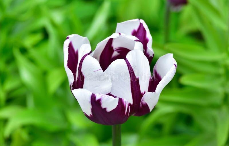 Lilor med den vita tulpan i en trädgård royaltyfri bild
