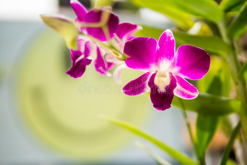 Lilor med rosa orkidér på filial med det gröna bladet i bakgrunden arkivbild