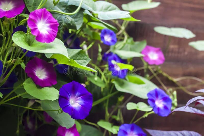 Lilor och blåa morgonGlory Ipomoea blommor som klättrar längs trästaketet royaltyfria foton