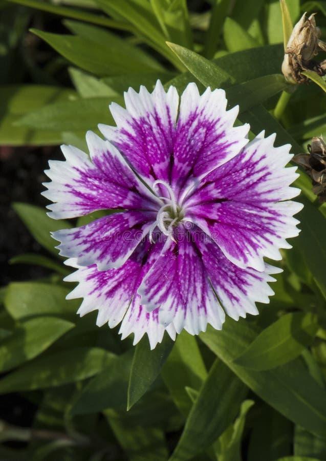 Lilor och en vit satte fransar på kronbladet med daggdroppar, dianthus royaltyfria foton