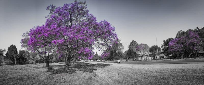 Lilor och gråton för jakaranda blommande arkivbilder