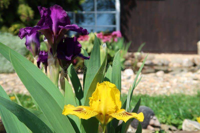 Lilor och gul svärdsliljablommor med den suddiga blommande trädgården i bakgrunden arkivfoto