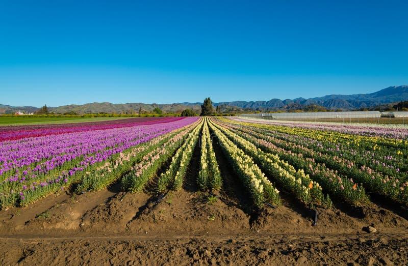 Lilor; rött; plötsliga drakar för rosa färger som och för guling blommar i ett fält arkivbild