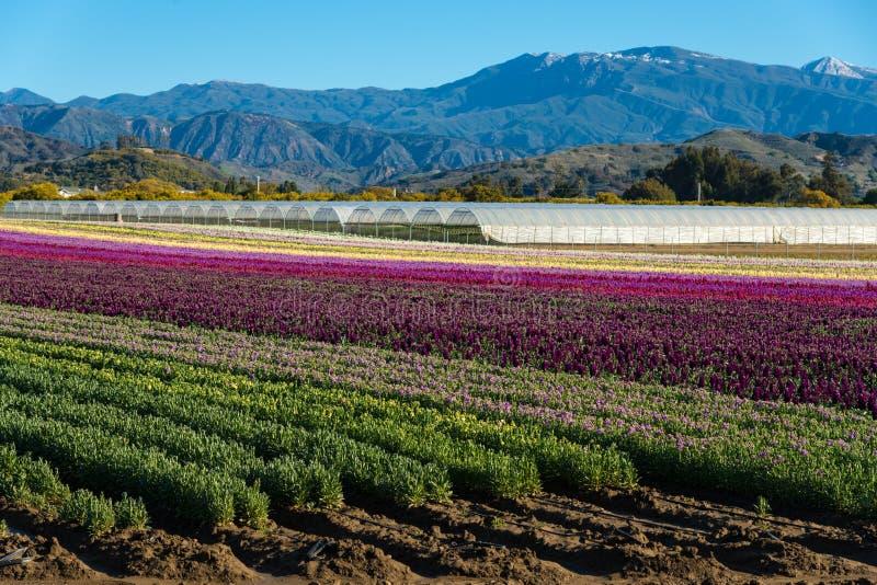 Lilor; rött; plötsliga drakar för rosa färger som och för guling blommar i ett fält arkivfoton