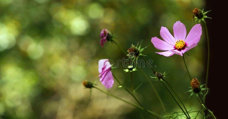 Lilor rosa färger som är röda, kosmosblommor i trädgården i tappning, utformar den mjuka fokusen arkivbilder