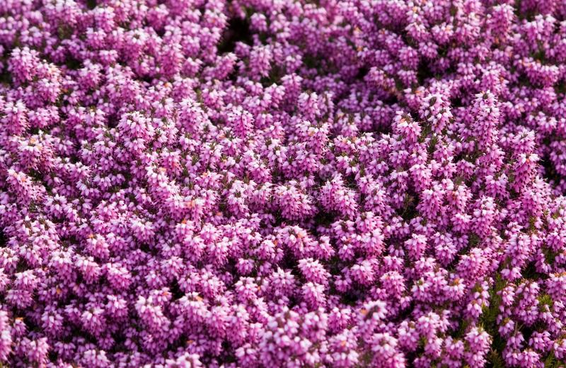 Lilor Rosa Färger, Växt, Blomma Gratis Allmän Egendom Cc0 Bild