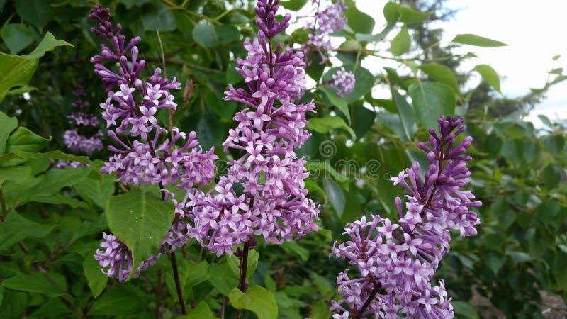 lilor royaltyfria foton