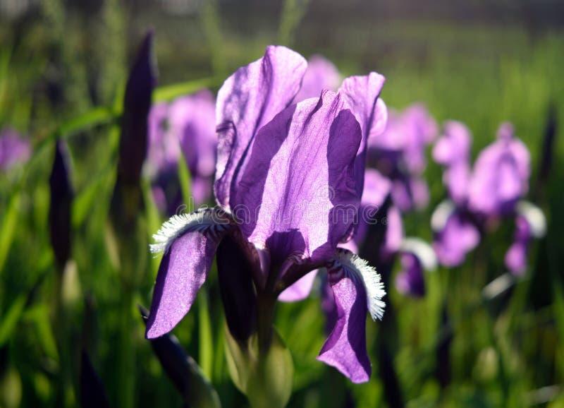 Lilor sunlighted skäggig irisagainst bakgrunden av iriers och grönska royaltyfri bild