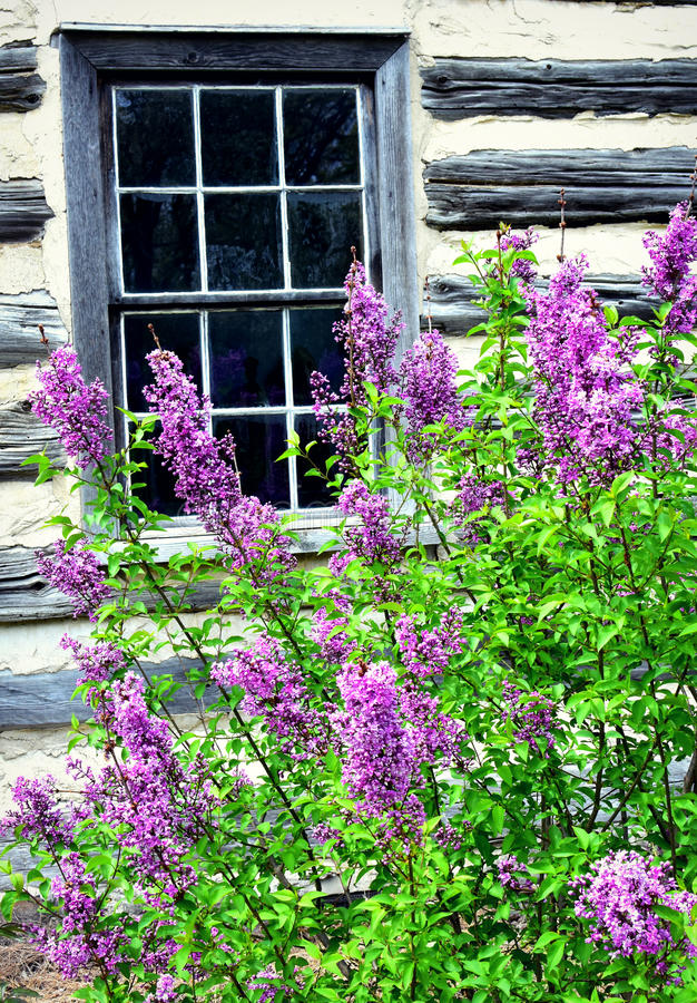 Lilor vid fönstret royaltyfri fotografi