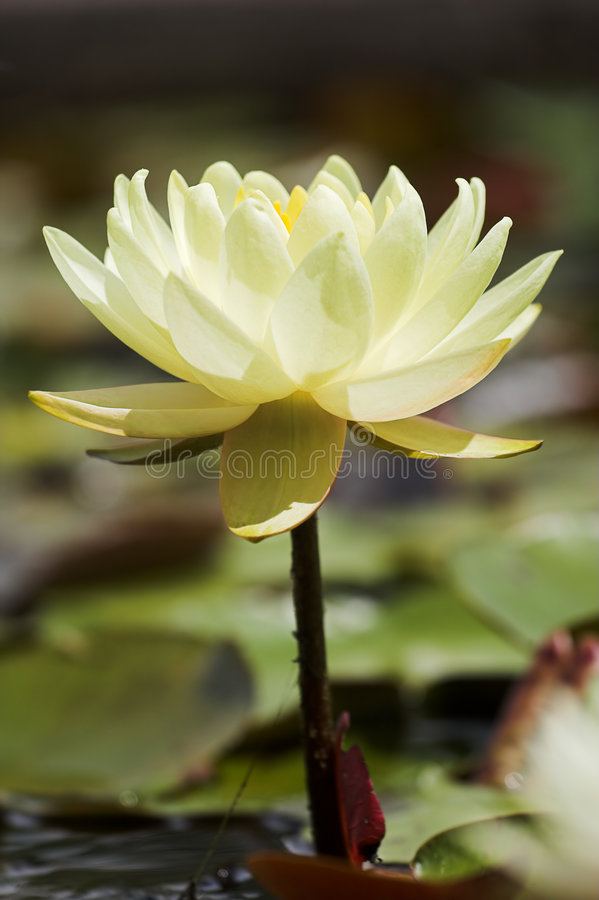 lily żółty zdjęcia stock
