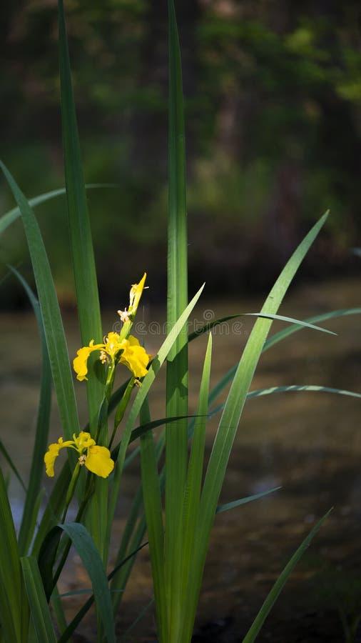 Lily żółty bagienny Rzadki kwiat bagienny fotografia stock