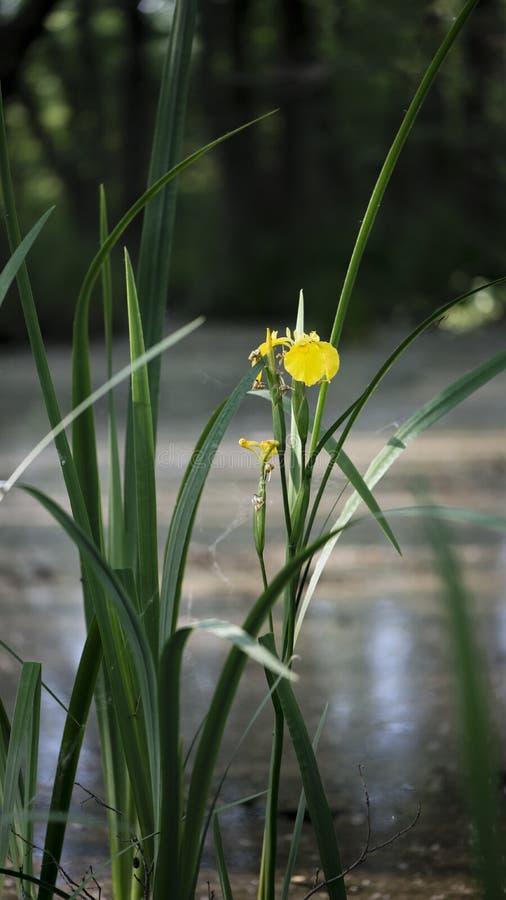 Lily żółty bagienny Rzadki kwiat bagienny obrazy royalty free