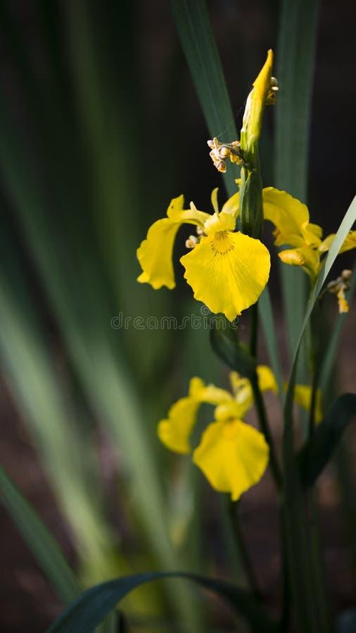 Lily żółty bagienny Rzadki kwiat bagienny obrazy stock