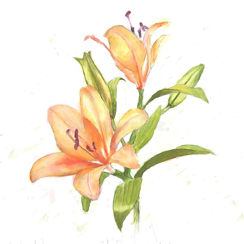 Lily. Blooming lily in watercolor with white background