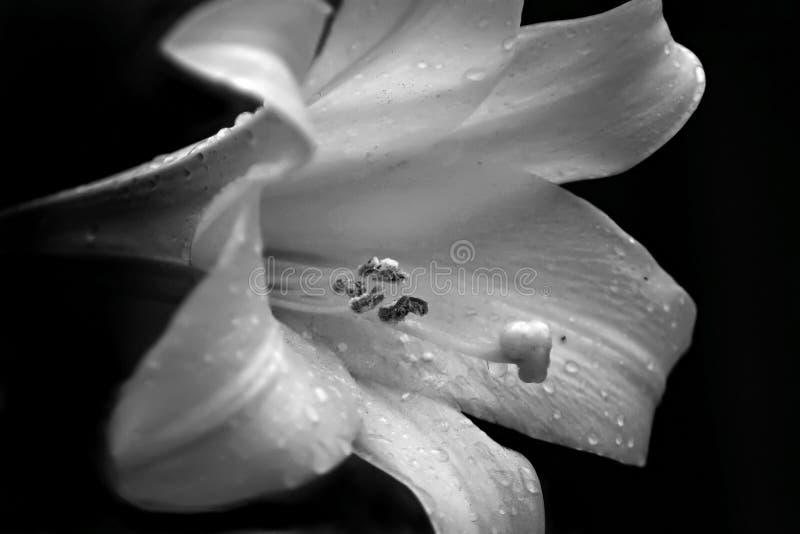 lily zdjęcie stock