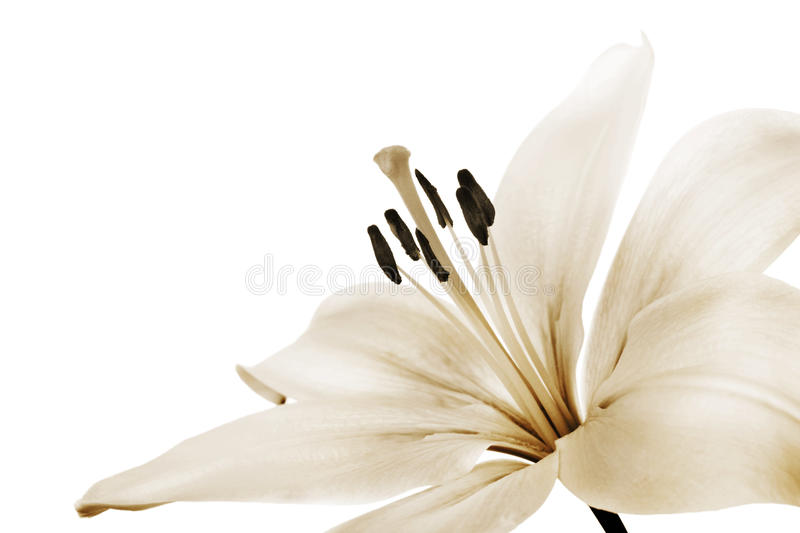 Download Lily Royalty Free Stock Image - Image: 18689466