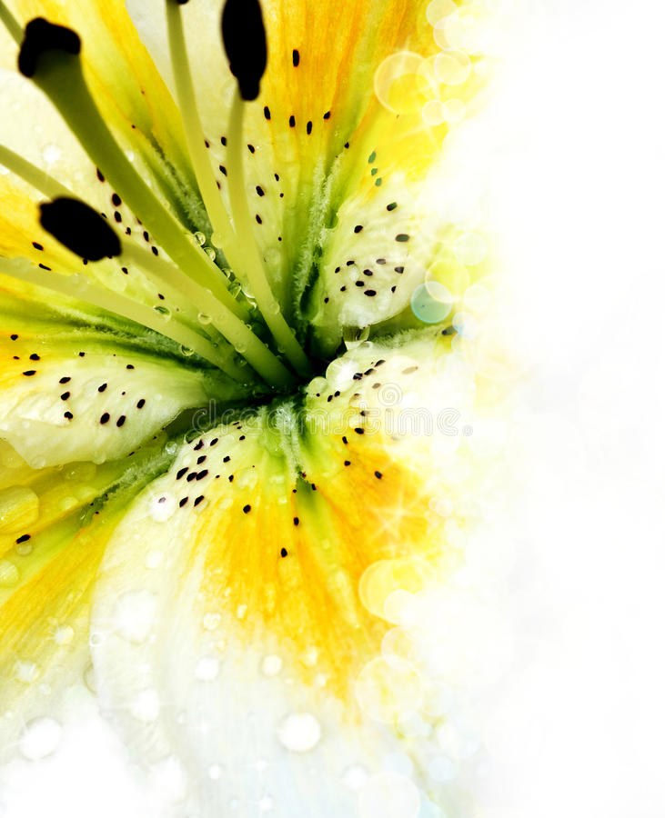Lily. Background for greeting card royalty free stock image
