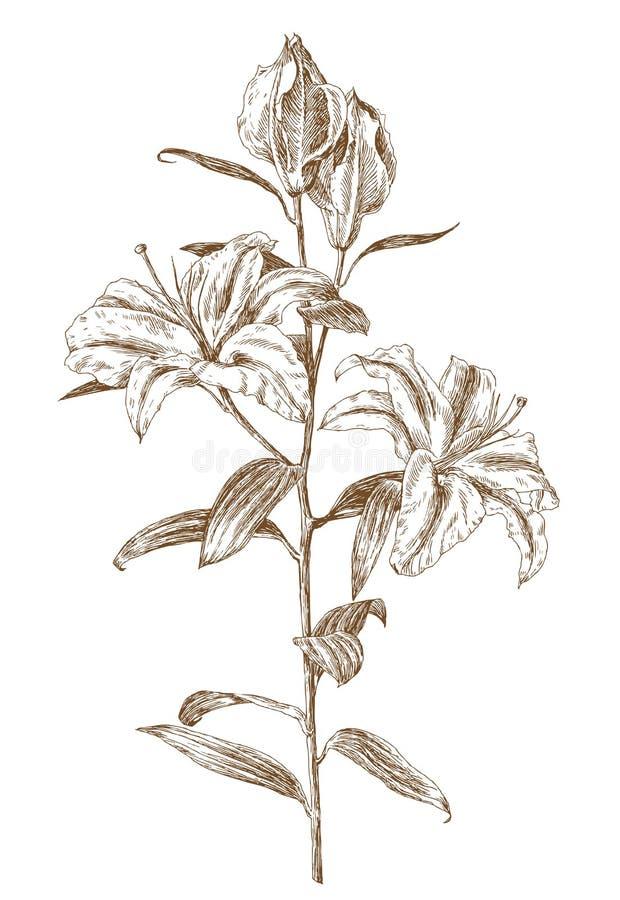 lily ilustracji