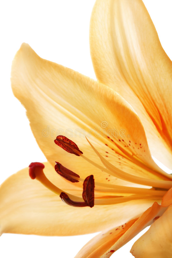 Lily. Isolated over white background royalty free stock photo
