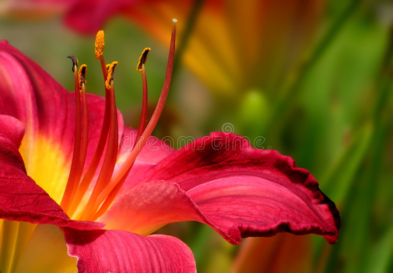 lily zdjęcie royalty free