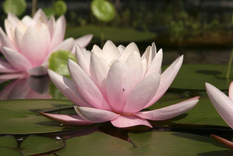 lily obraz royalty free