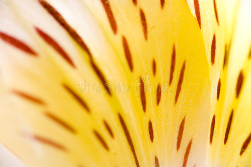 Lily Abstract royalty free stock photos