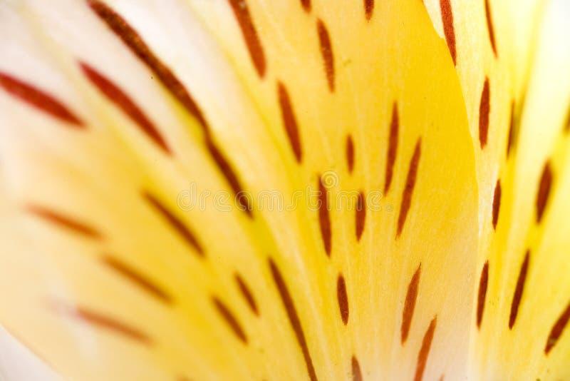 lily abstrakcyjna zdjęcia royalty free