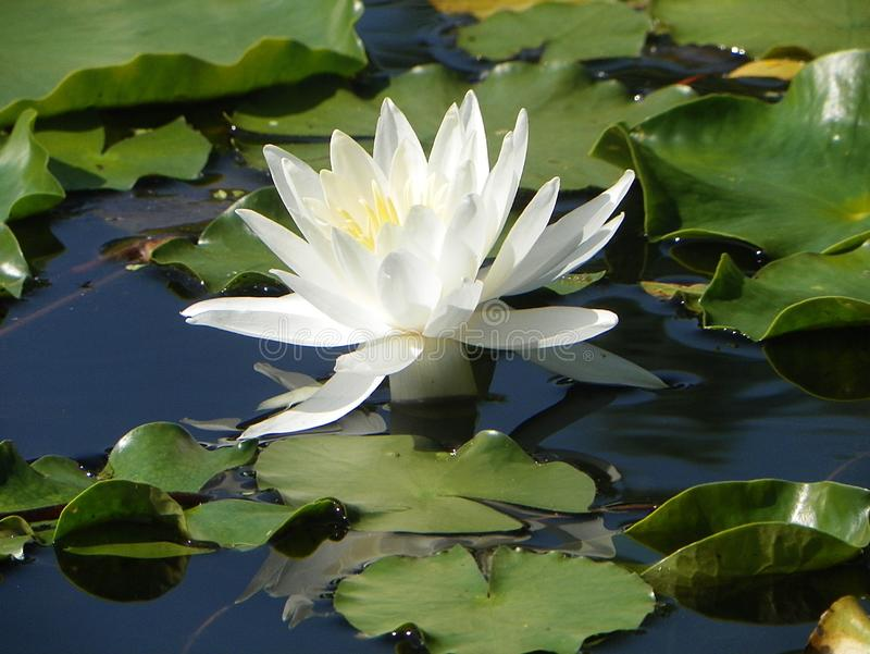Lily Beacon Of The Pond stock images